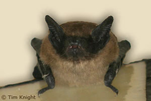 Apparently, we have at least two of these hanging out in our attic. Don't get too comfortable, bats! (Image courtesy of Tim Knight)